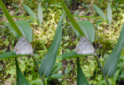 Favonius saphirinus, stereo parallel view