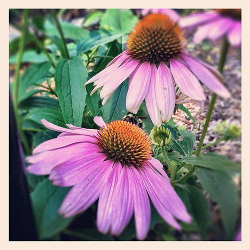 Bumble bee on purple coneflowers. Just playing with my phone camera. :-) by The Shutterbug Eye™