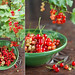 Red Currant- Triptych