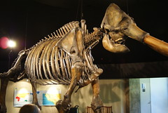 Columbian Mammoth (Mammuthus columbi) at the Page Museum at the La Brea Tar Pits