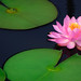Pink Water Lily and Lily Pads by kspan17