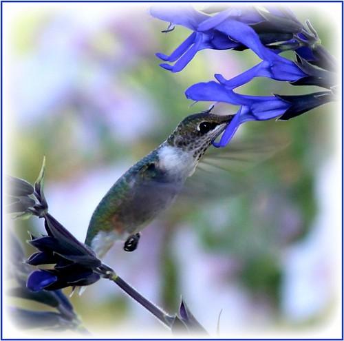Another Hummingbird Shot With Blue & Black Salvia
