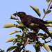 Grackle on chokecherry bush