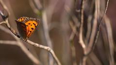 """""""Lycaena phlaeas"""" - small copper"""