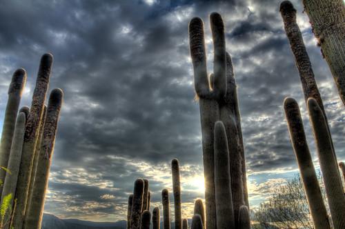 Cactus VI