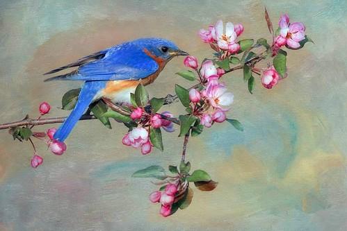 The Philip's Eastern Bluebird