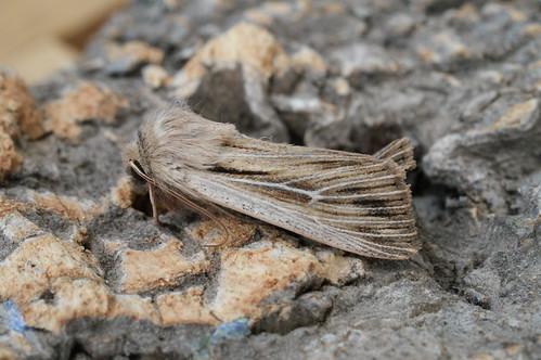 Shoulder-striped Wainscot (Mythimna comma)
