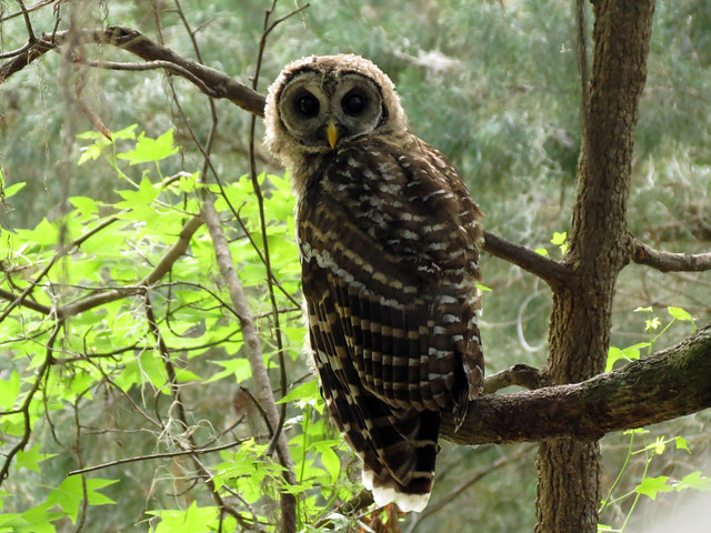 Barred Owl (shy baby)