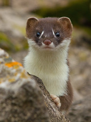 Stoats..