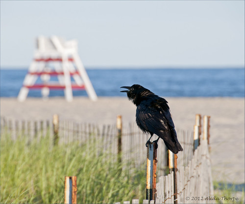crow on beach by Alida's Photos