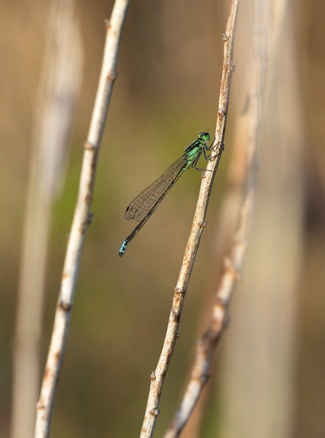 A male Eastern Forktail damselfly, photographed across from the horse campground at Murphy-Hanrehan.  Most males of this species have an unbroken green shoulder stripe, but in this one the stripe is broken and looks like an exclamation point.
