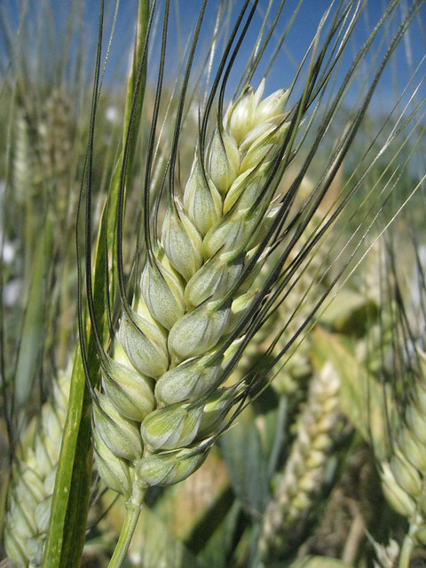 Berillo wheat variety