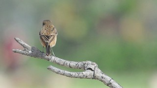 Common Stonechat  A V 1