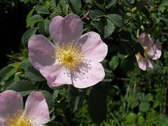 macro photography(0.0), blossom(1.0), garden roses(1.0), flower(1.0), plant(1.0), rosa rubiginosa(1.0), rosa canina(1.0), wildflower(1.0), flora(1.0), rosa acicularis(1.0), rosa pimpinellifolia(1.0), rosa rugosa(1.0), petal(1.0),