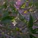 Planta de Chiltepín.