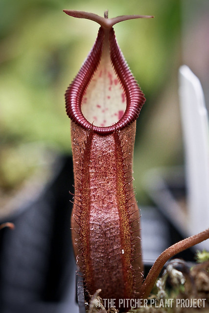 Nepenthes densiflora x truncata