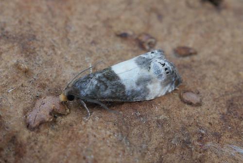 Epiblema cynosbatella (2)