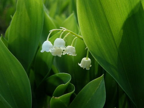 Lily-of-the-valley II