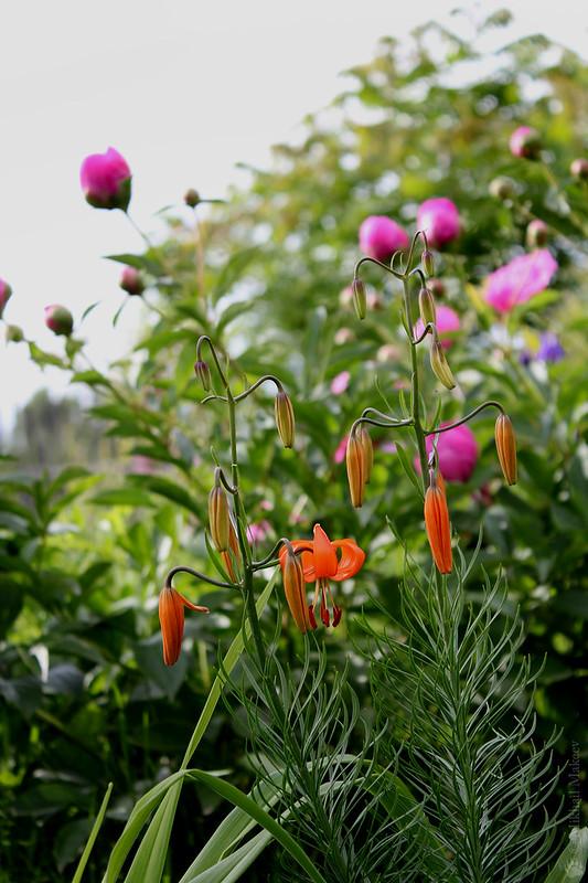 Lilium pumilum (L. tenuifolium) — Лилия карликовая, лилия низкая, лилия узколистная