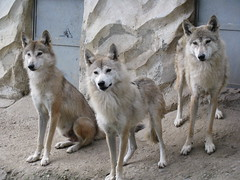 west siberian laika(0.0), red wolf(0.0), norwegian buhund(0.0), street dog(0.0), norwegian elkhound(0.0), dog breed(1.0), animal(1.0), dingo(1.0), canis lupus tundrarum(1.0), dog(1.0), czechoslovakian wolfdog(1.0), gray wolf(1.0), canaan dog(1.0), pet(1.0), shikoku(1.0), east siberian laika(1.0), tamaskan dog(1.0), greenland dog(1.0), kishu(1.0), northern inuit dog(1.0), korean jindo dog(1.0), wolfdog(1.0), saarloos wolfdog(1.0), native american indian dog(1.0), jã¤mthund(1.0), carnivoran(1.0),
