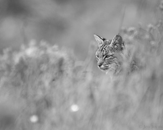 Bobcat in the tall grass