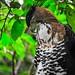Spizaetus ornatus - Photo (c) Sergio Quesada, algunos derechos reservados (CC BY-NC-SA)