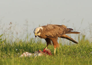 Harrier feeding