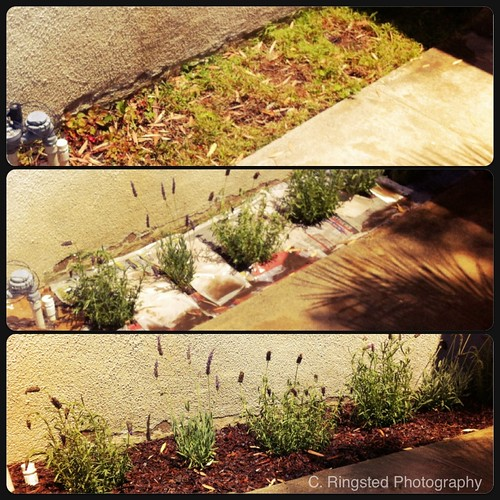 DIY: Planting Lavender by Sanctuary-Studio