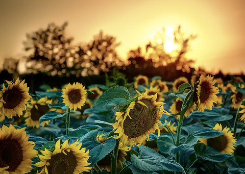 sunflowers@sunset