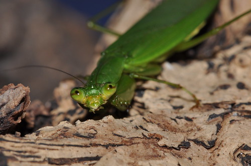 圖二:台灣花螳螂(綠色型)。(王嘉靖攝影)