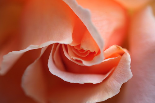 Hybrid Tea Rose 2012 by neggatiff