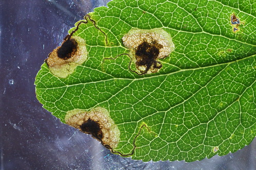 Stigmella plagicolella mines on Blackthorn