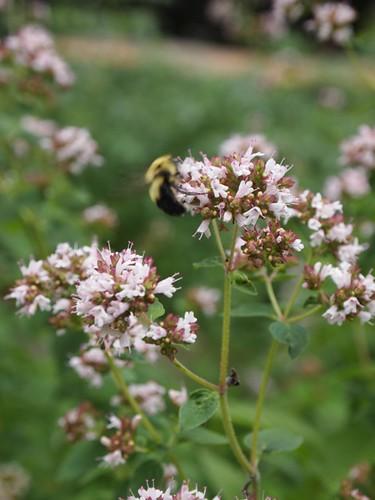 bee in the oregano