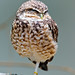 Small South American owl