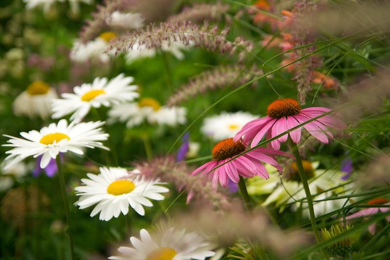 echinacea and pennisetum and daisy  1909