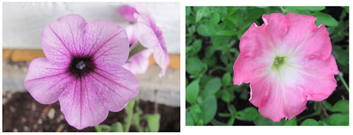 05 light purple petunia and pink petunia