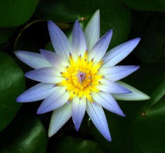 Water Lily  #39: F&S PARK  #2