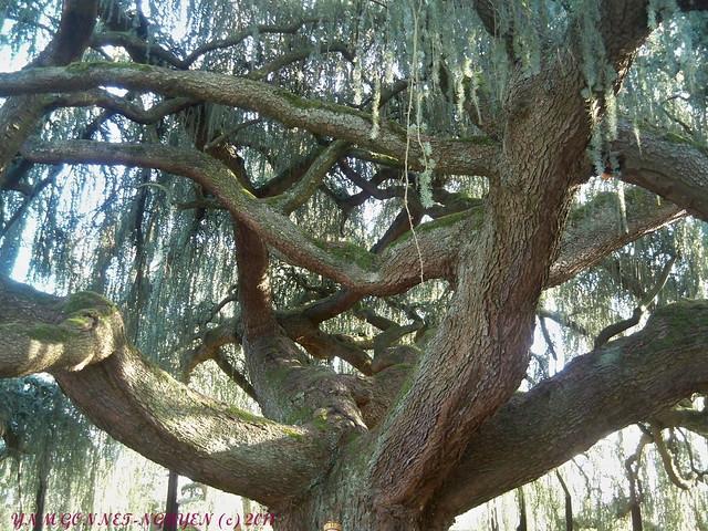 Cedre bleu pleureur du liban arboretum de la vall e aux - Cedre bleu du liban ...