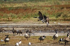 Canada Geese, Shelducks and Gulls - Lodmoor