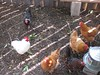 Chickens in larger run area