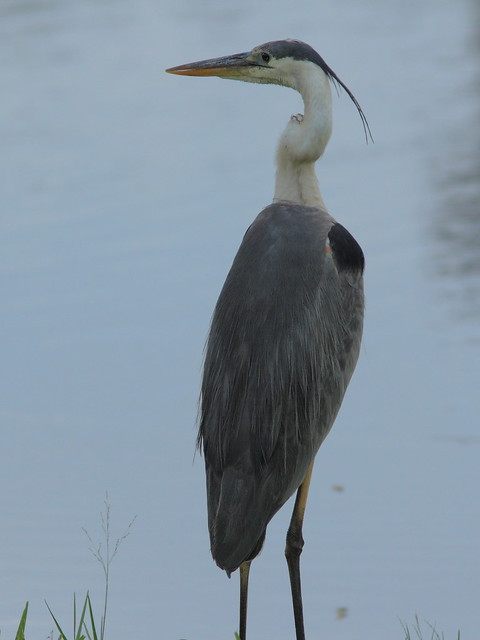 Great Blue Heron 20120728