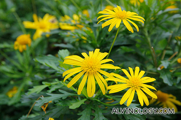 Sea of yellow flowers