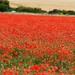 Field of Poppies by Puckpics