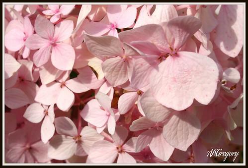 My Pink Hydrangea by akgregory26