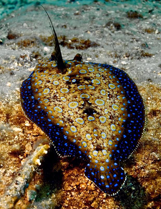 Flounder 4-2