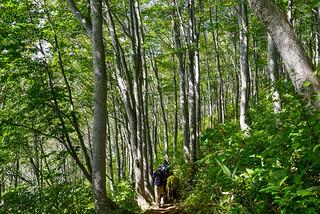 ブナ樹林帯を鑑賞しながら団体さんの後をユックリ下りましょ