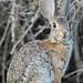 Desert Cottontail (Sylvilagus auduboni) by Hamilton Images