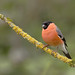 Bullfinch by Richard Venn