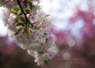 Spring bokeh...{EXPLORED FP}
