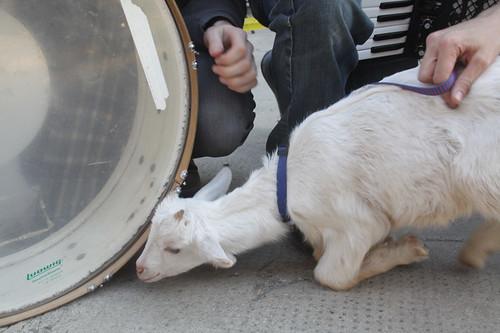 curious goat